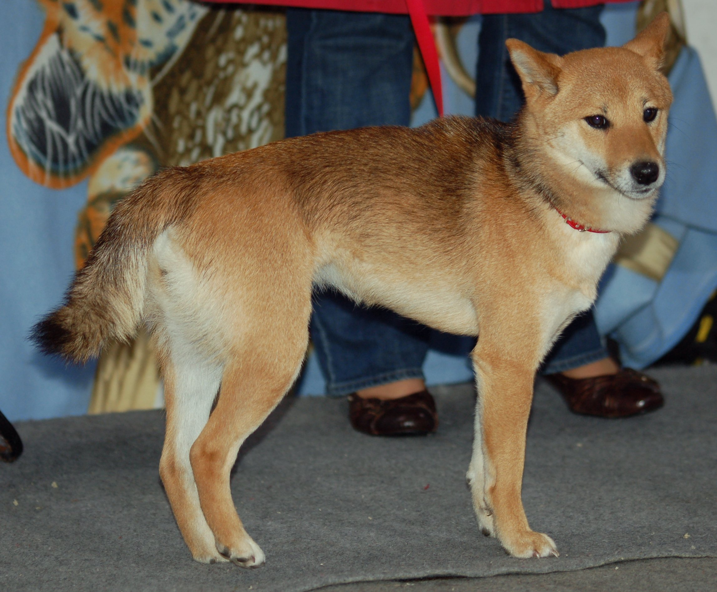 Type Of Dog That Looks Like A Fox
