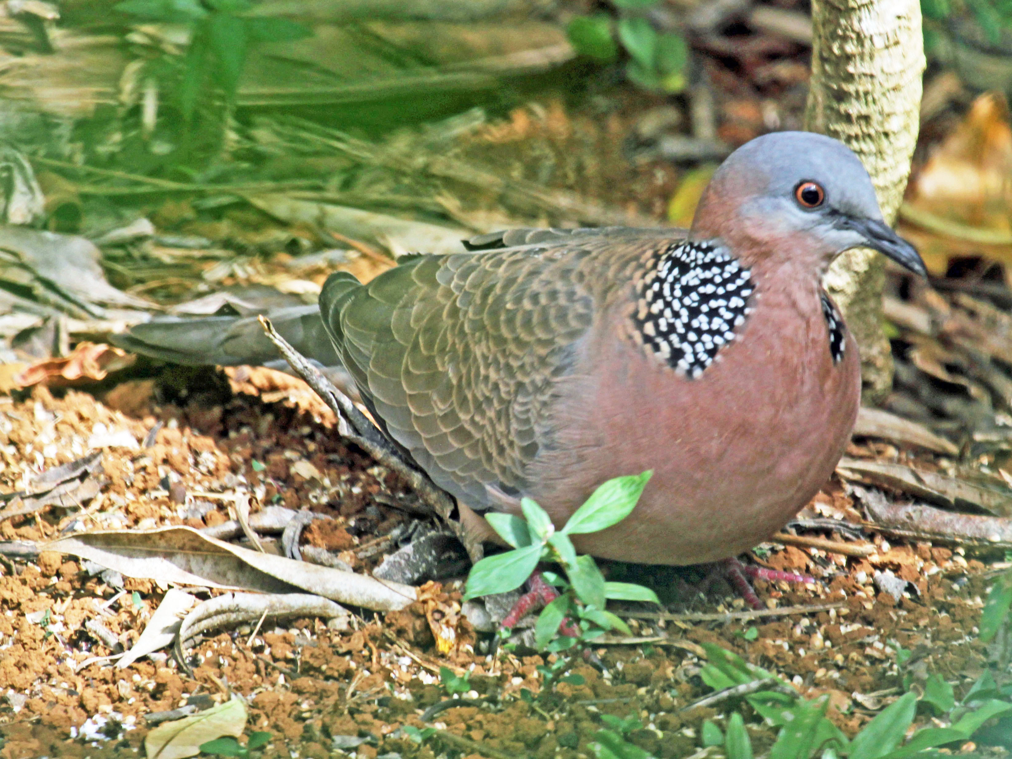 Spotted Dove And Ringed Turtle Dove