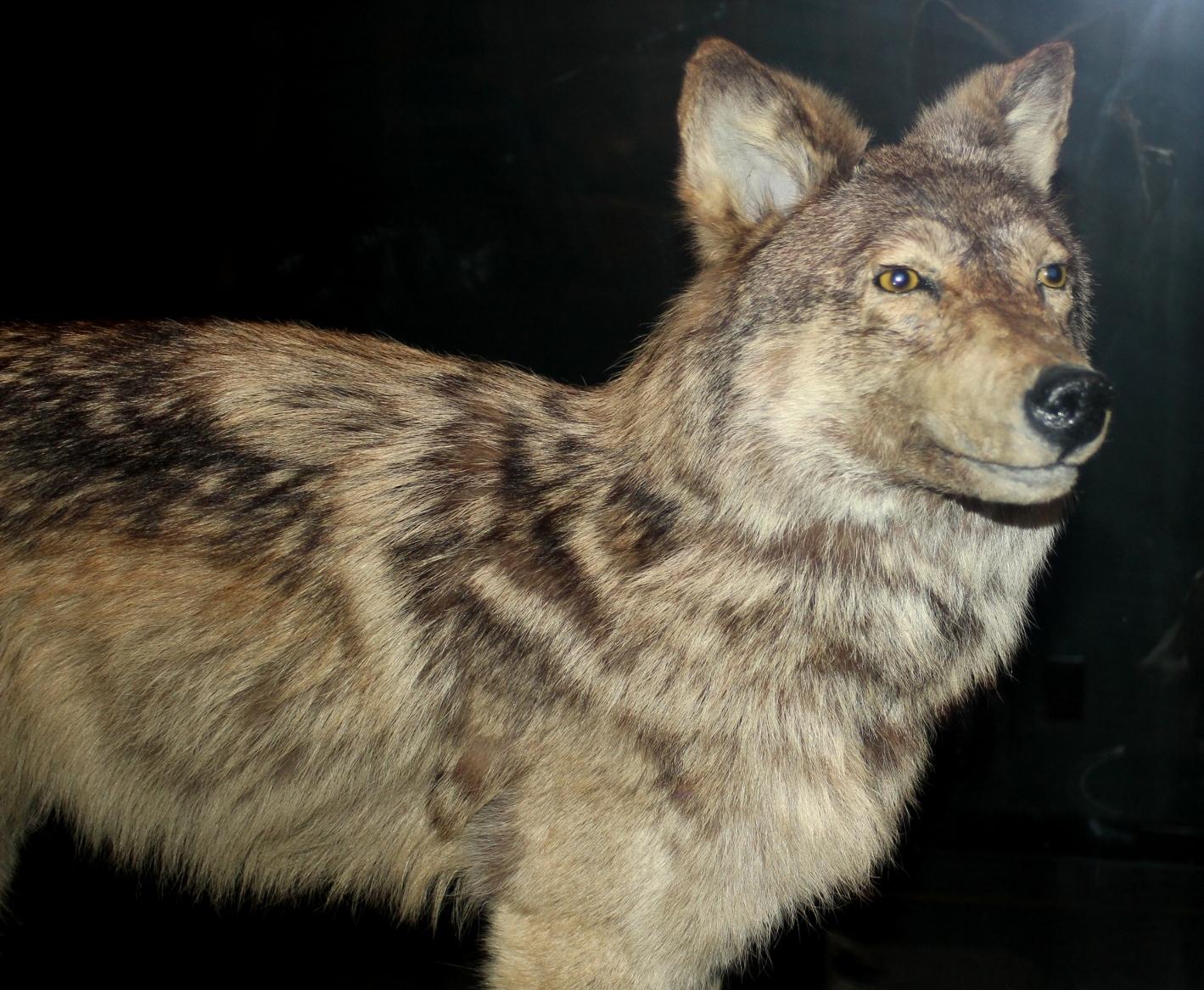 Newfoundland Wolf Wikipedia