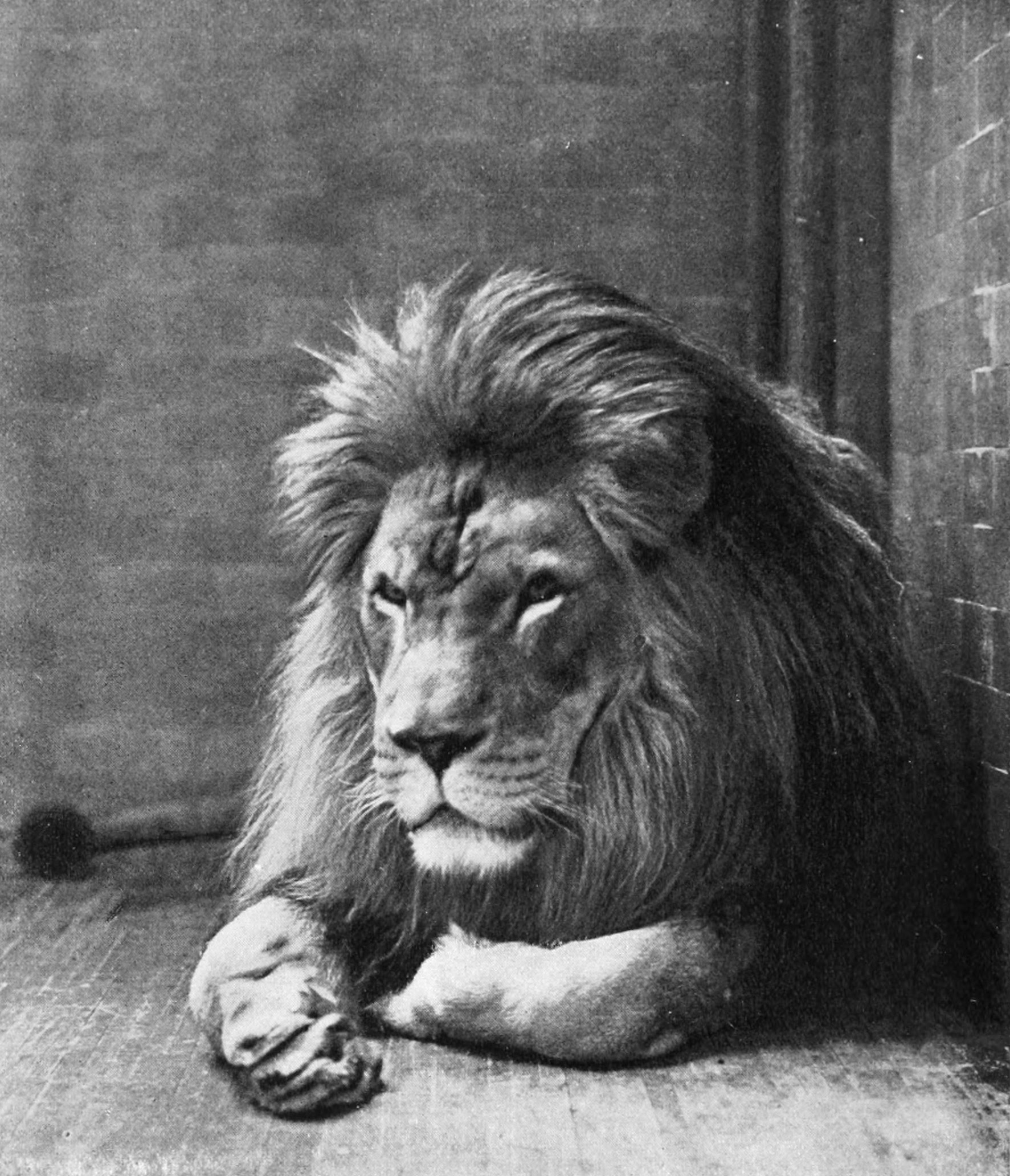 http://upload.wikimedia.org/wikipedia/commons/5/5a/Sultan_the_Barbary_Lion.jpg