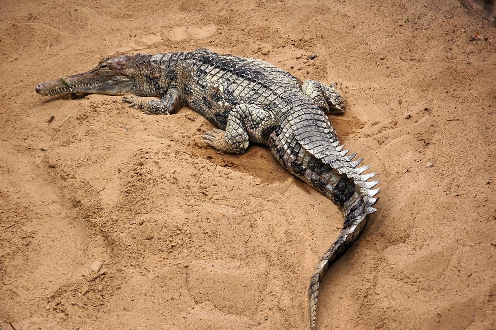 cá sấu mõm dài Mã Lai