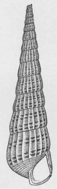 Turbonilla rushii