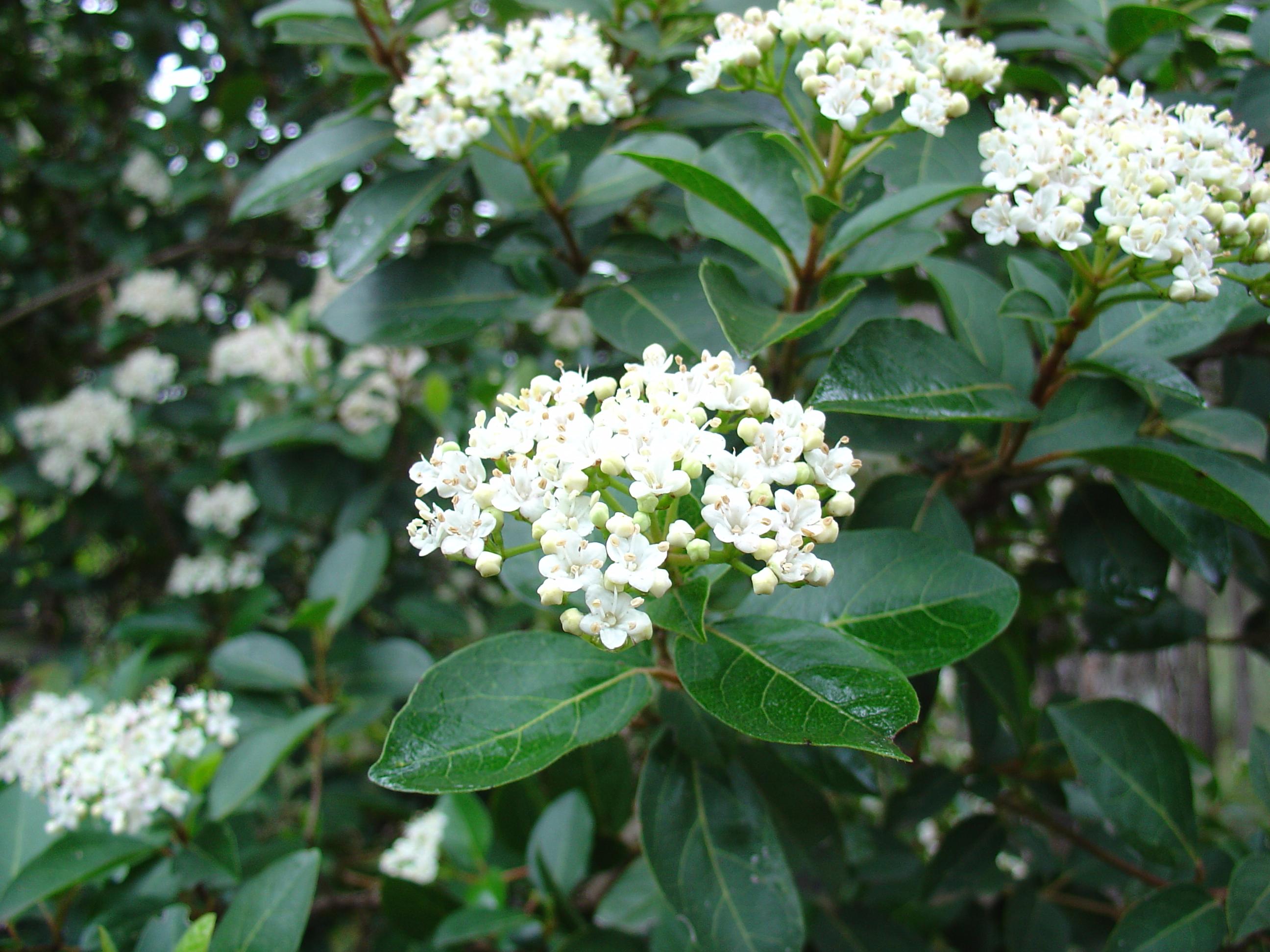 Can someone identify this flowering bush helpfulgardener re can someone identify this flowering bush mightylinksfo
