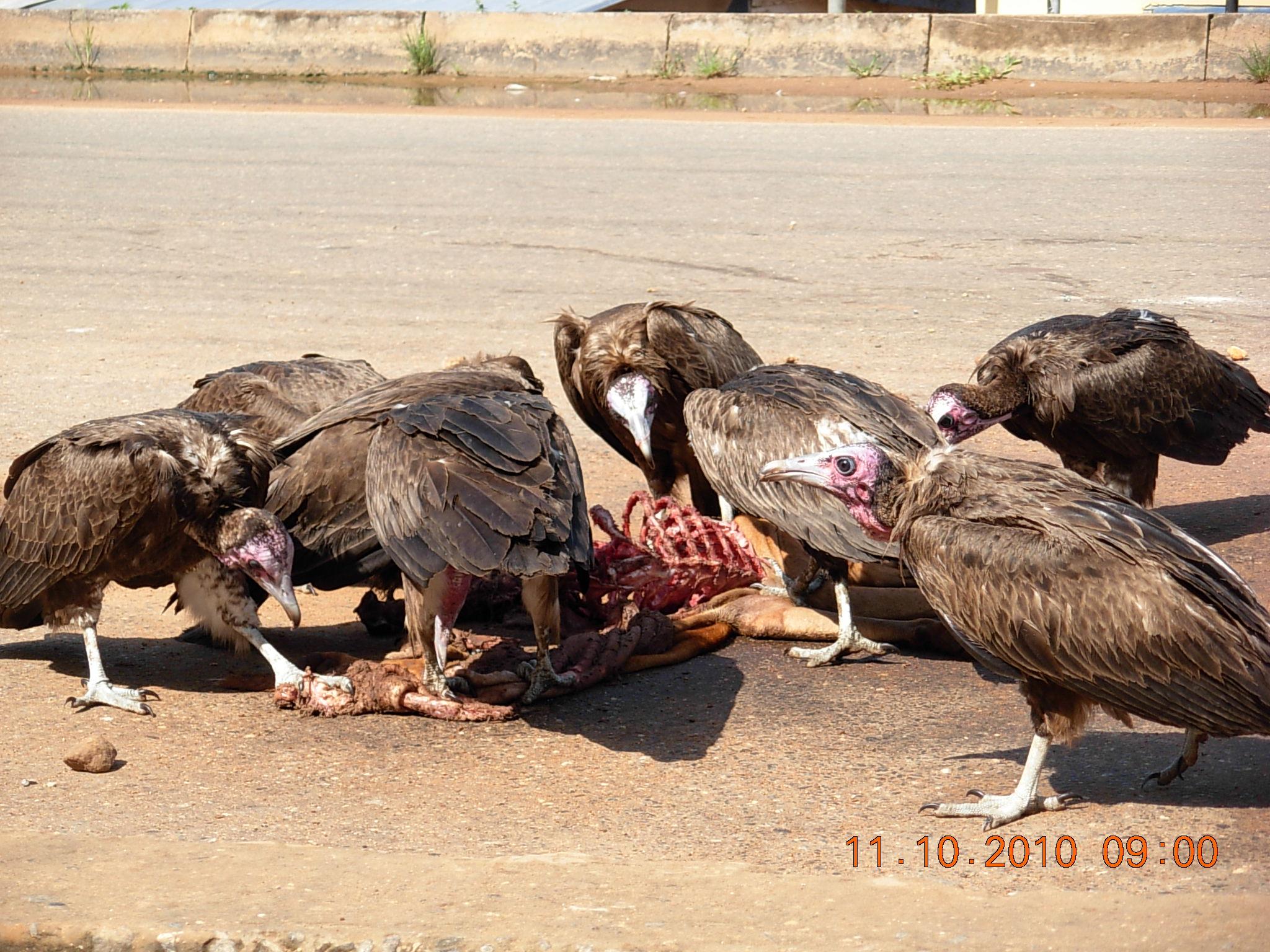 file vultures eat dead dog in hohoe 1 jpg   wikimedia commons