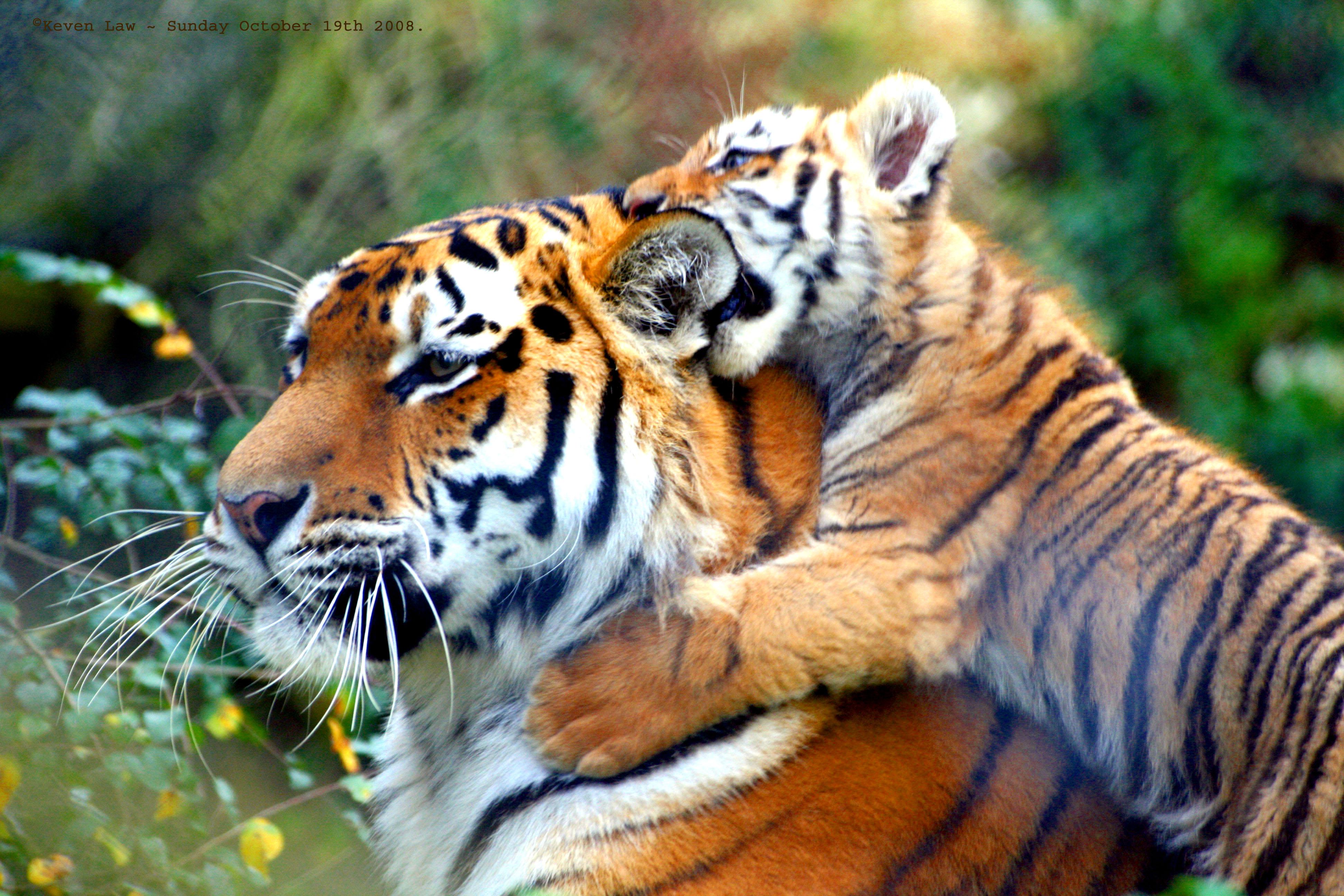 Natural Tiger Images