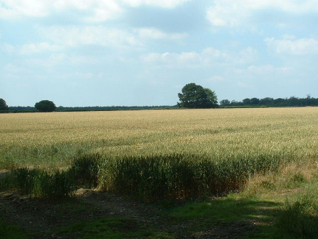 Wheat field - geograph.org.uk - 25560