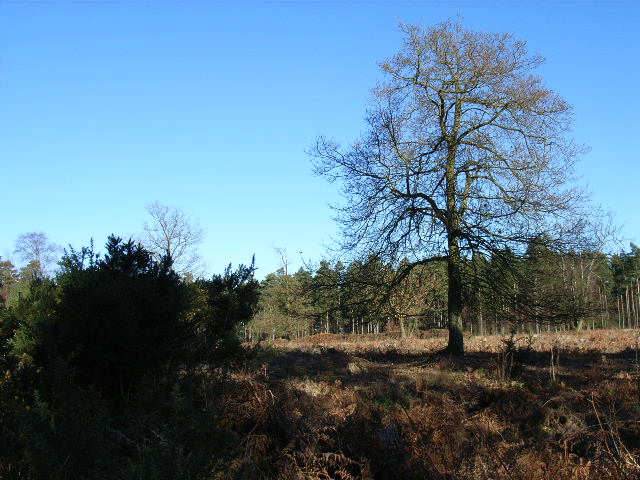Wickham Bushes, Swinley Forest - geograph.org.uk - 114967