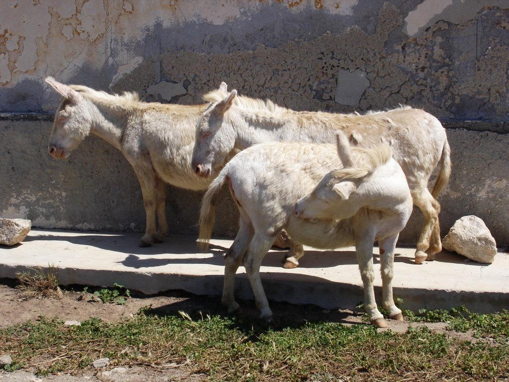 donkeys mules