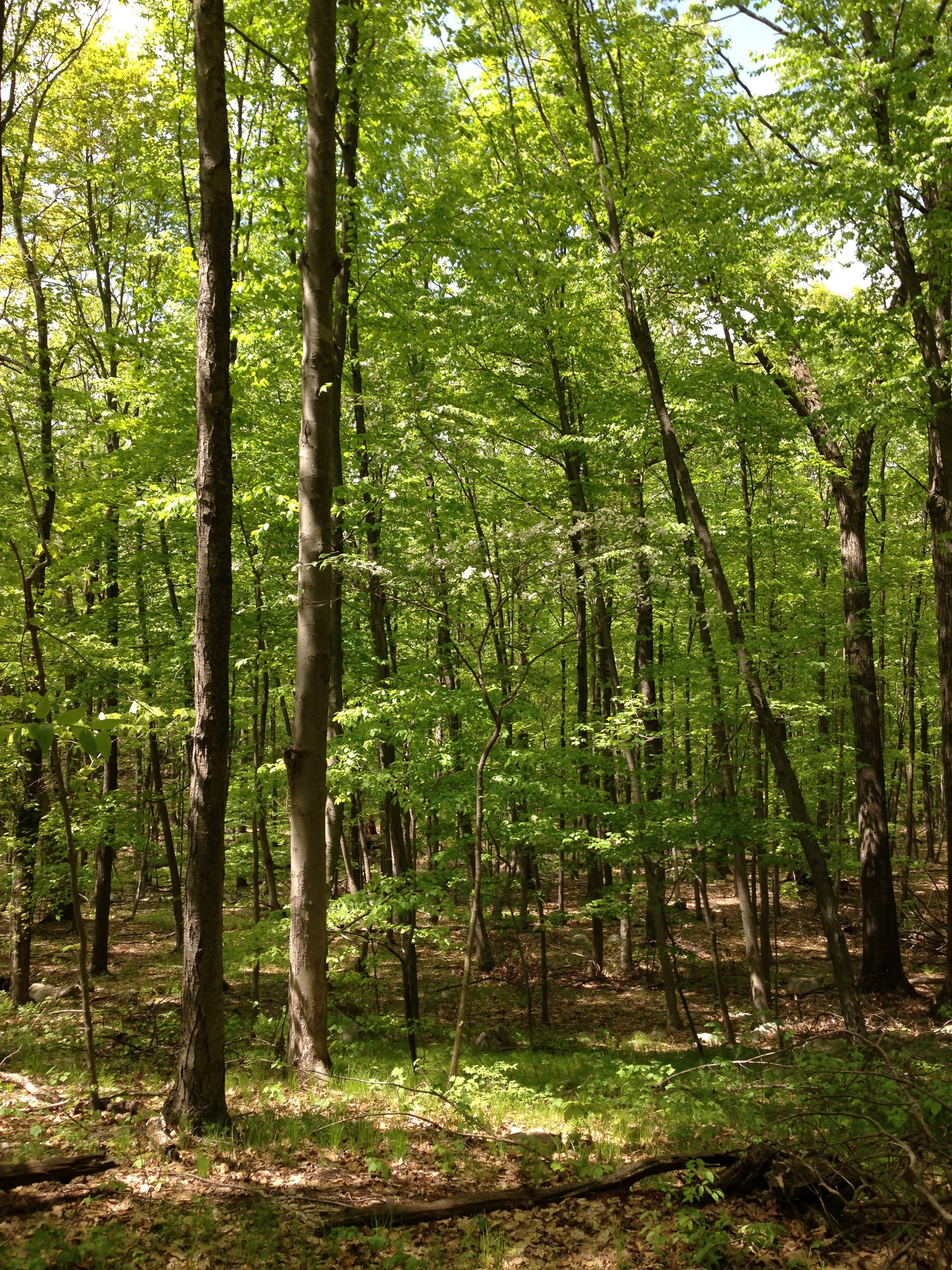 File:2013-05-12 14 05 14 Dogwood deep in the forest along the ...