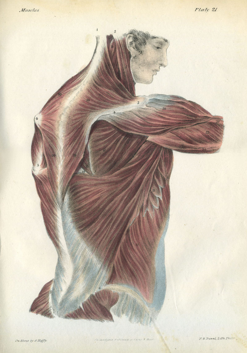 File:A Series of Anatomical Plates Muscles Plate 21.jpg - Wikimedia ...