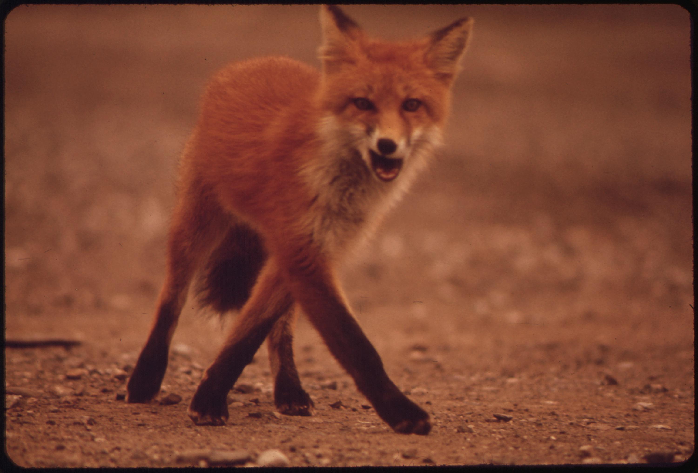 File A Young Female Fox Near Galbraith Lake Camp Nara