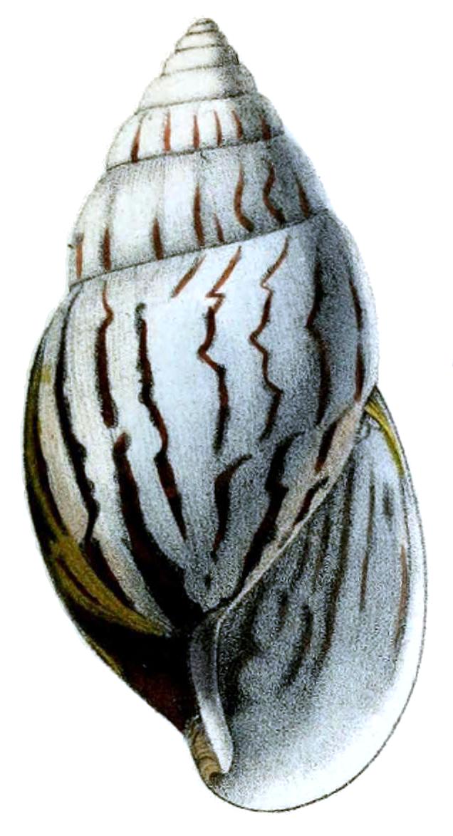 File:Achatina craveni shell png - Wikipedia