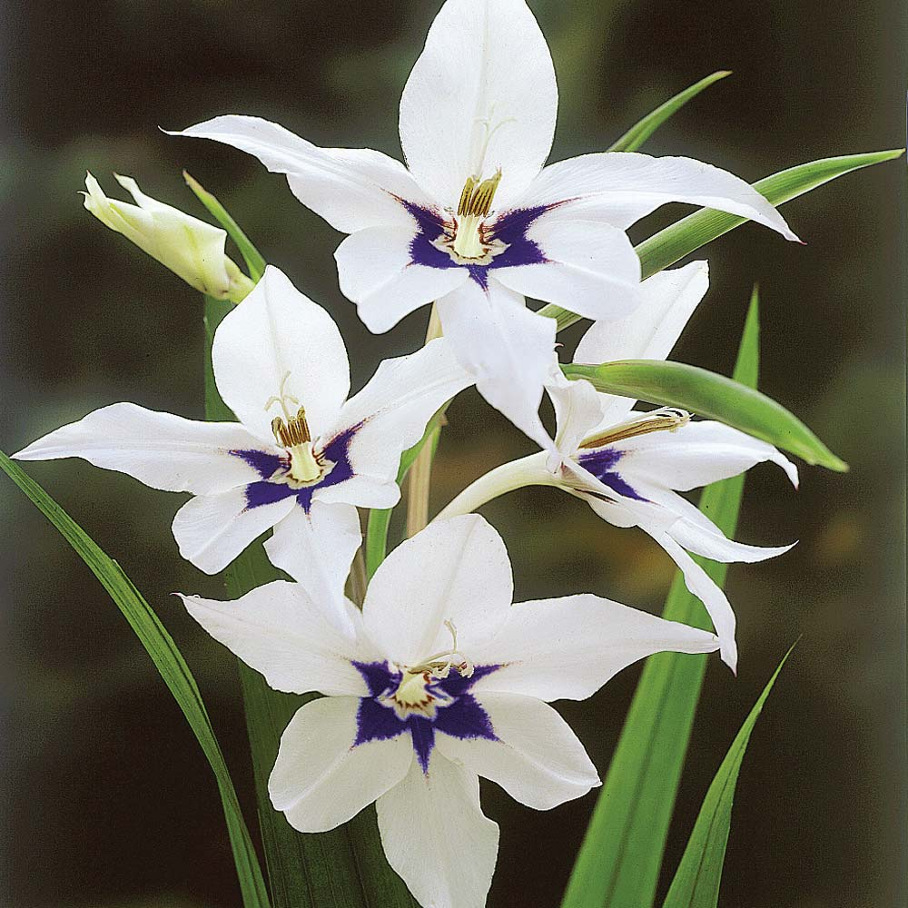 List of indian state flowers wikipedia rajasthan buycottarizona Gallery