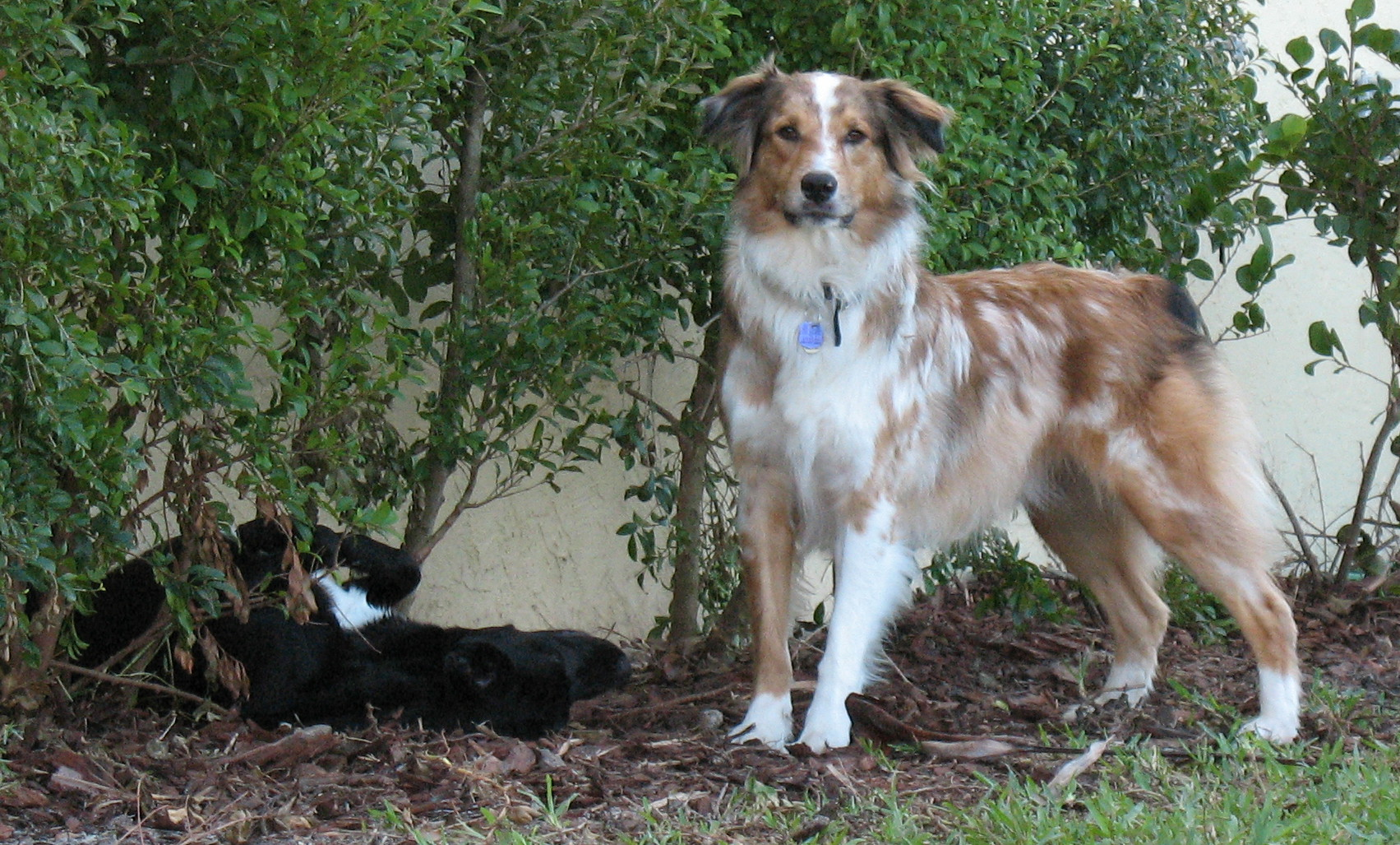 Pastor-australiano - Dog Scanner