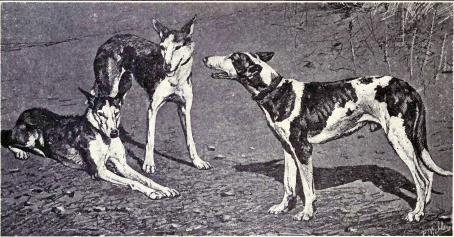 Balearic Greyhound from 1915.