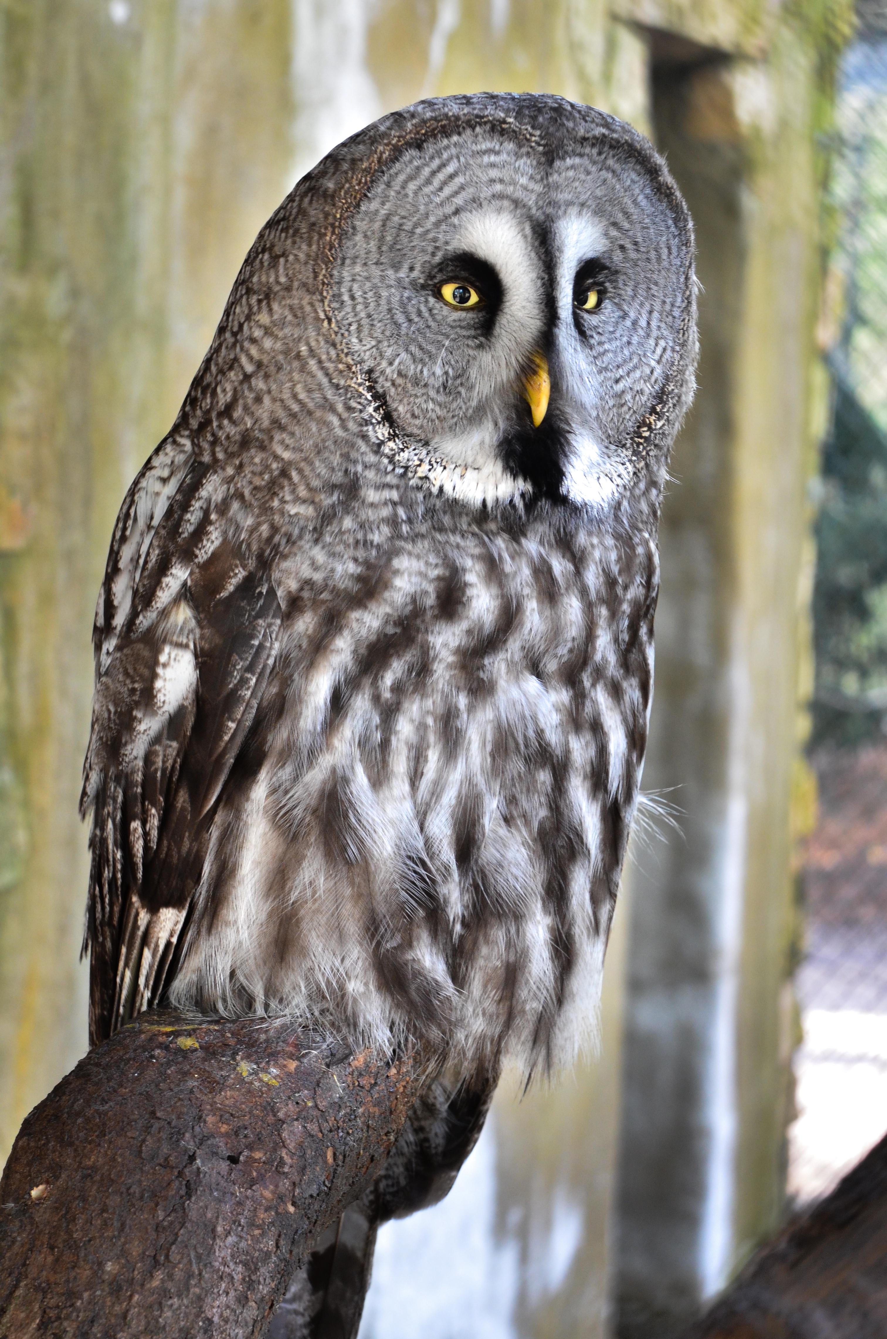File:Bartkauz - Great Grey Owl (Strix nebulosa
