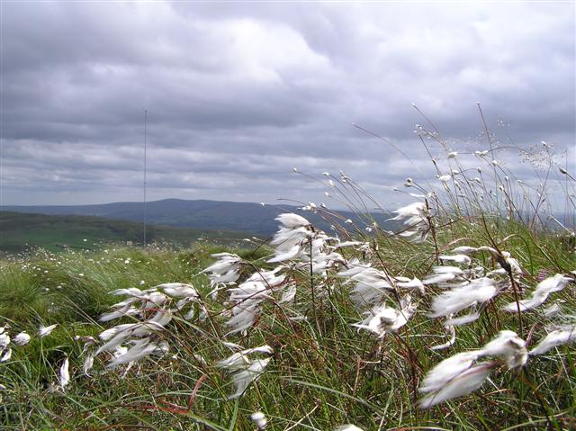 Bog cotton on Owenreagh Hill - geograph.org.uk - 201316