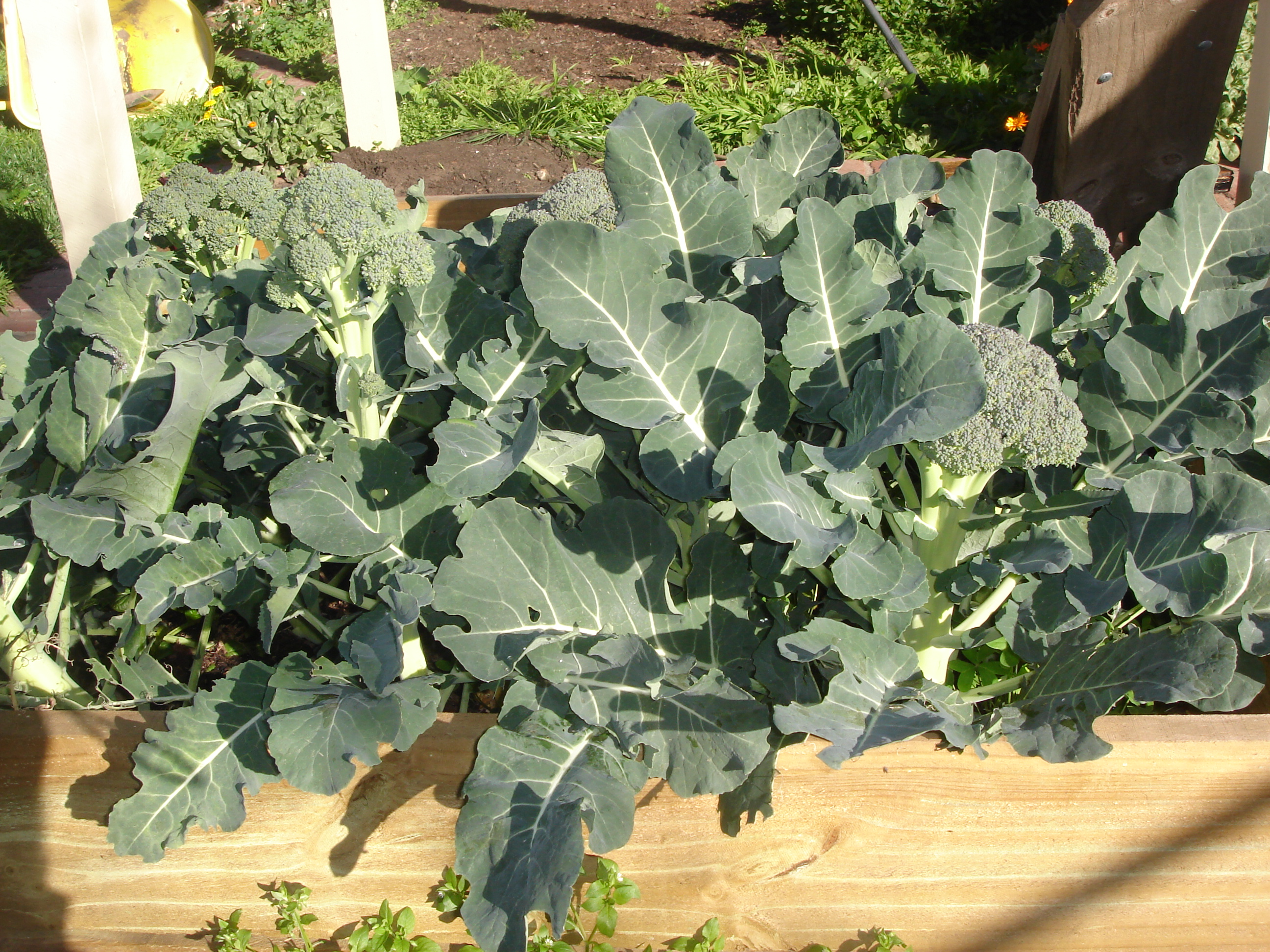 Broccoli by Etbe (http://en.wikipedia.org/wiki/File:Broccoli-patch-big.jpg)