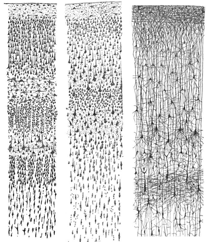Description cajal cortex drawings