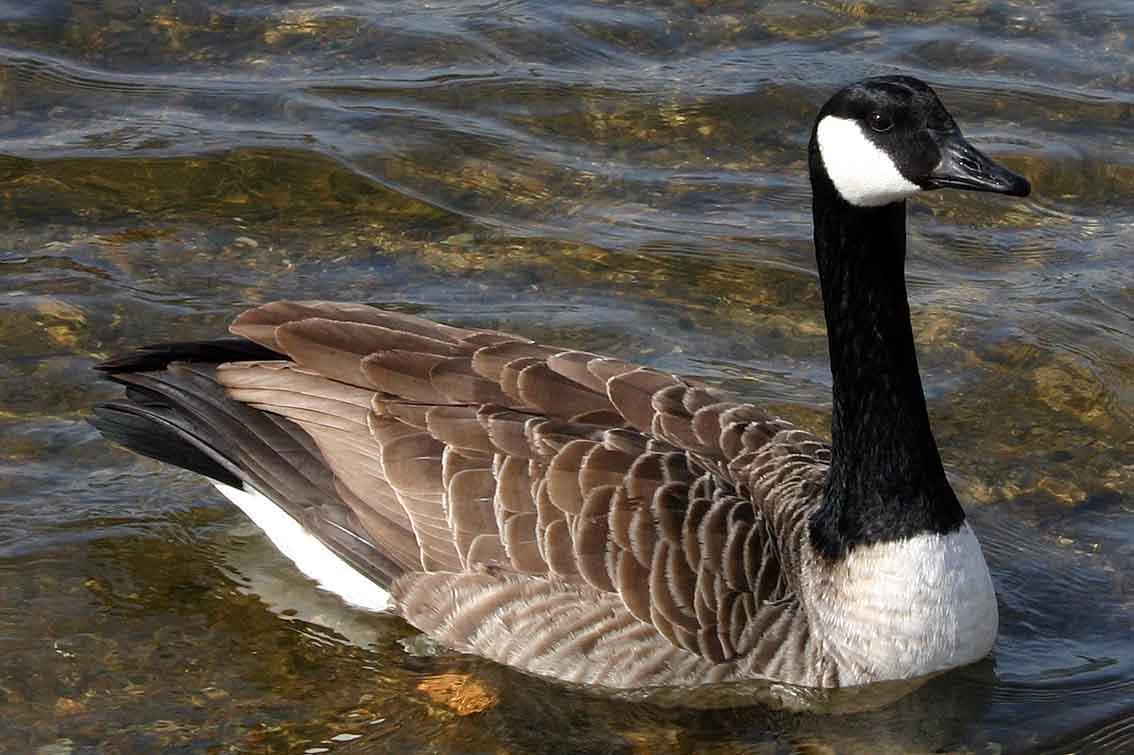 canada goose uk wiki canada goose langford parka sale fake. Black Bedroom Furniture Sets. Home Design Ideas