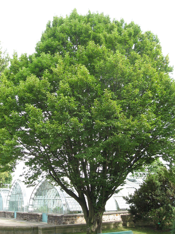 Граб обыкновенный лат cárpinus груз