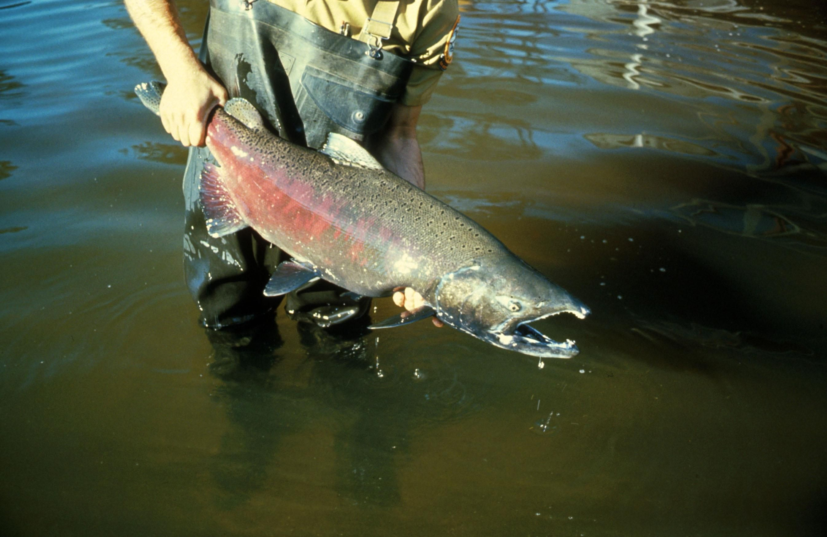 File chinook salmon for Salmon fish pictures