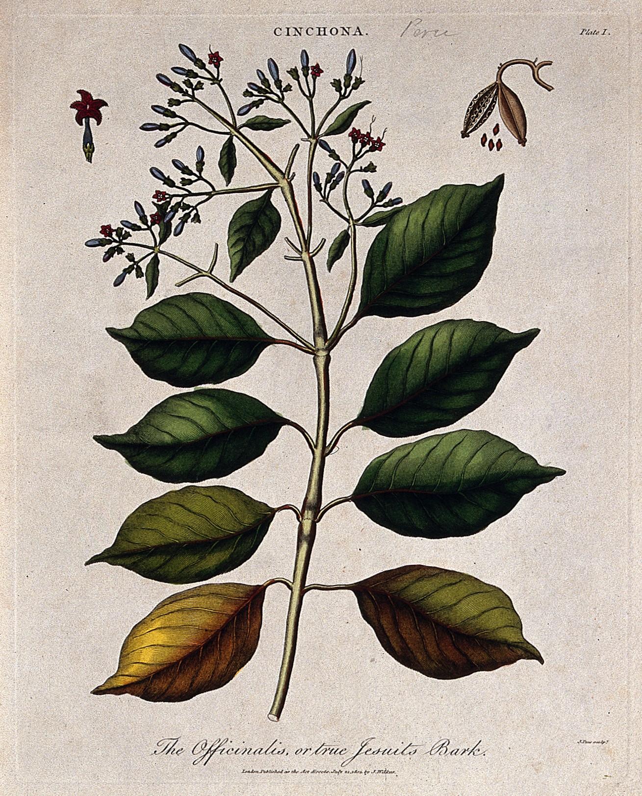 File:Cinchona plant (Cinchona officinalis); flowering and fruitin ...