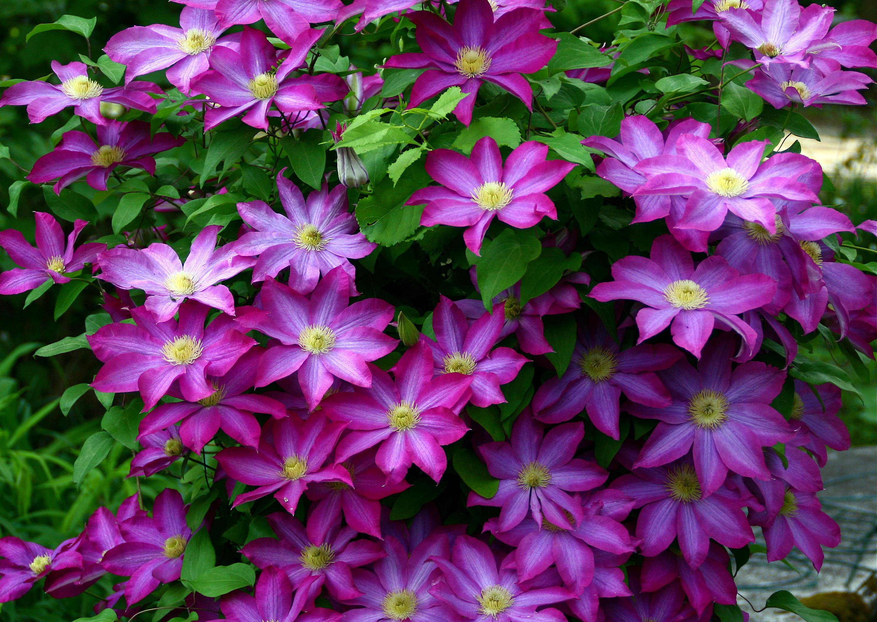 File clematis kakio 2 jpg wikimedia commons - Plantas trepadoras para muros ...