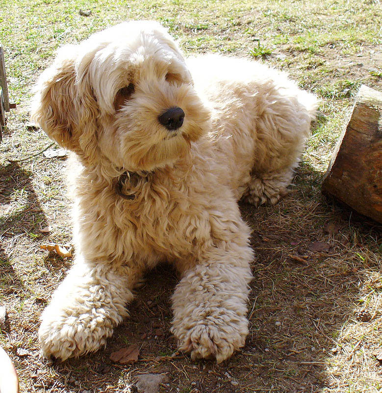 Cockapoo Puppies For Sale In Jersey Channel Islands