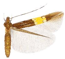 <i>Cosmopterix astrapias</i> Species of moth from the Americas