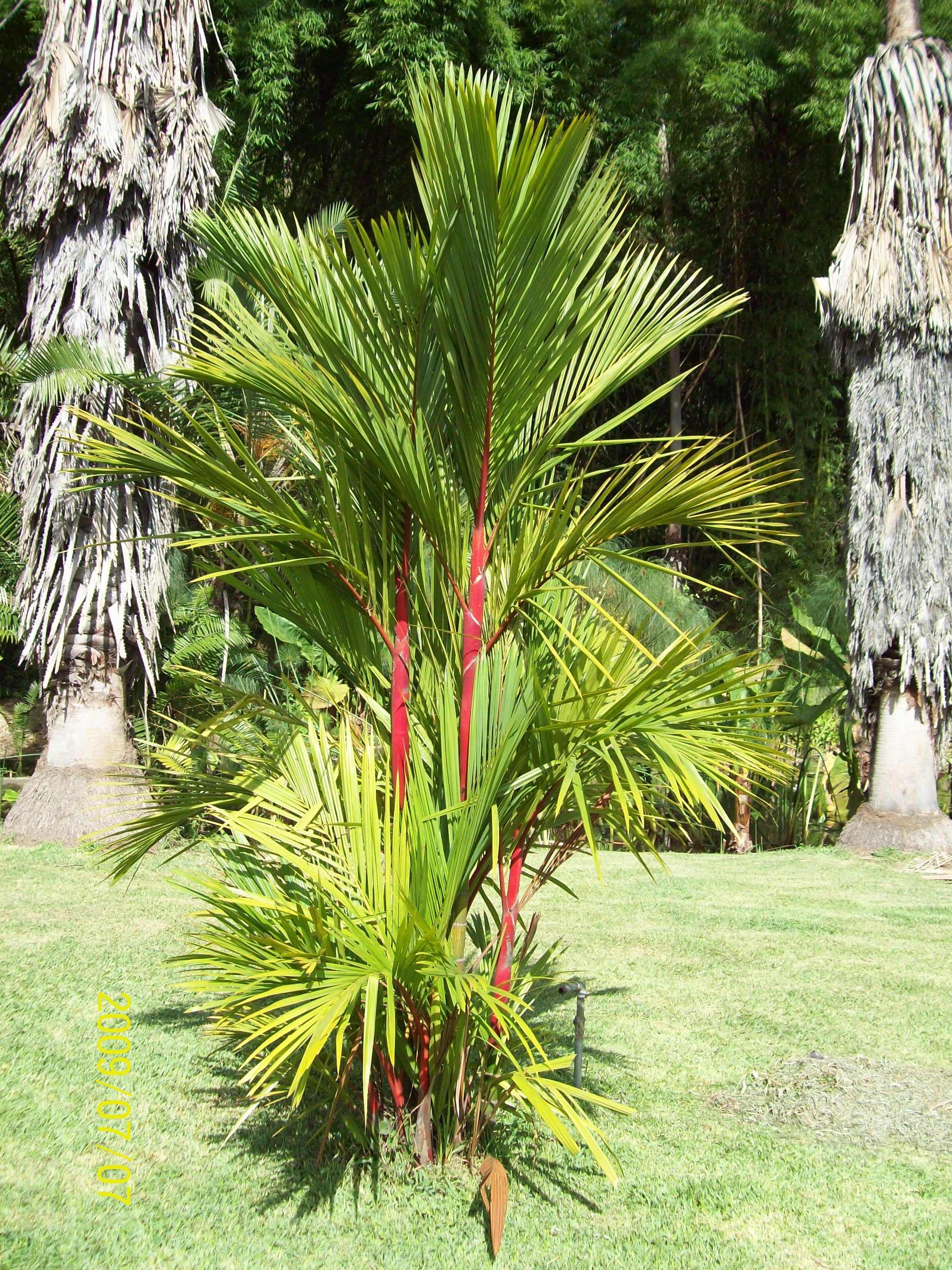 Tropical Sealing Wax Palm 10 Seeds