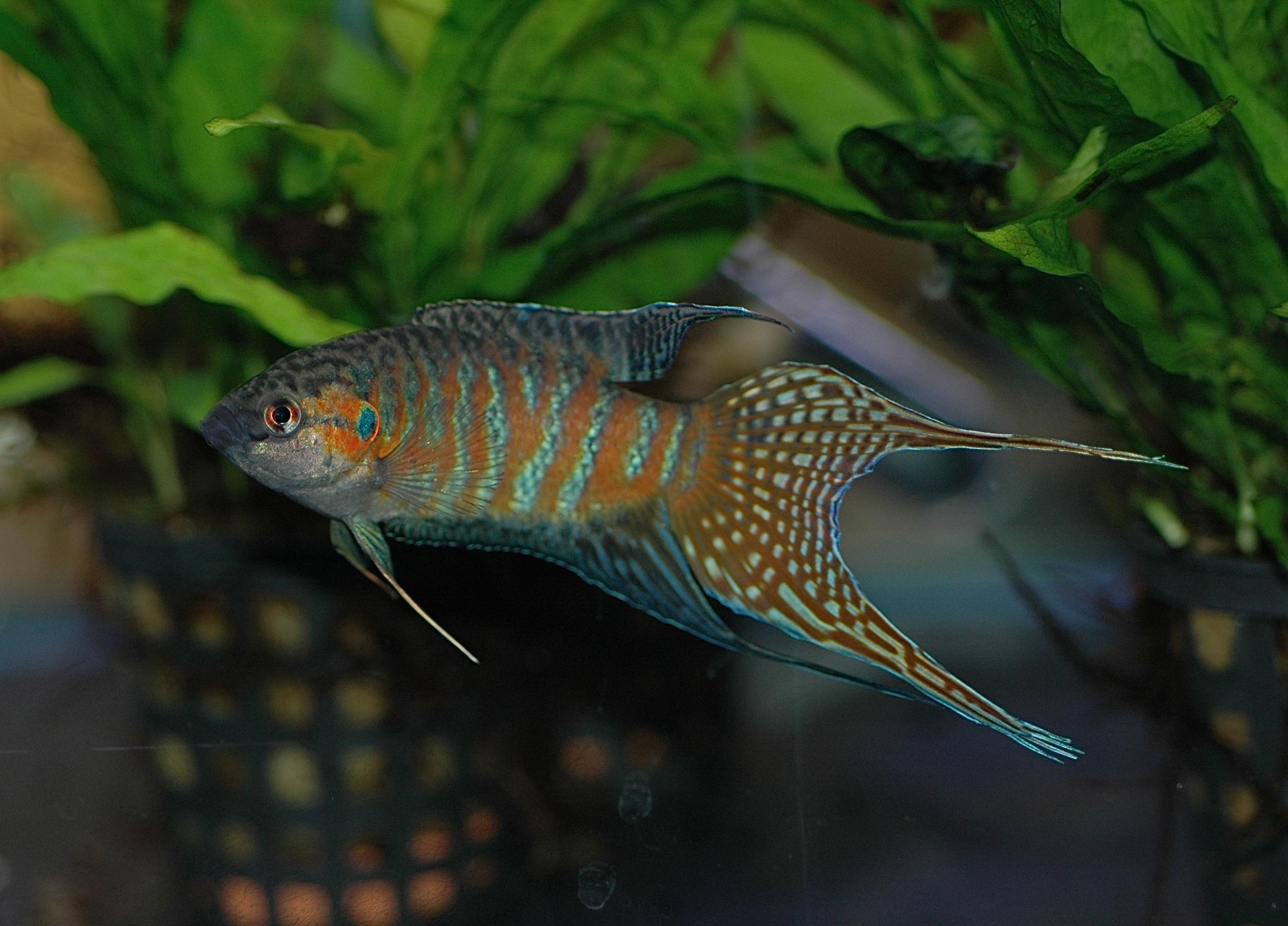 Http Commons Wikimedia Org Wiki File Dv Paradise Fish Male 03 Jpg