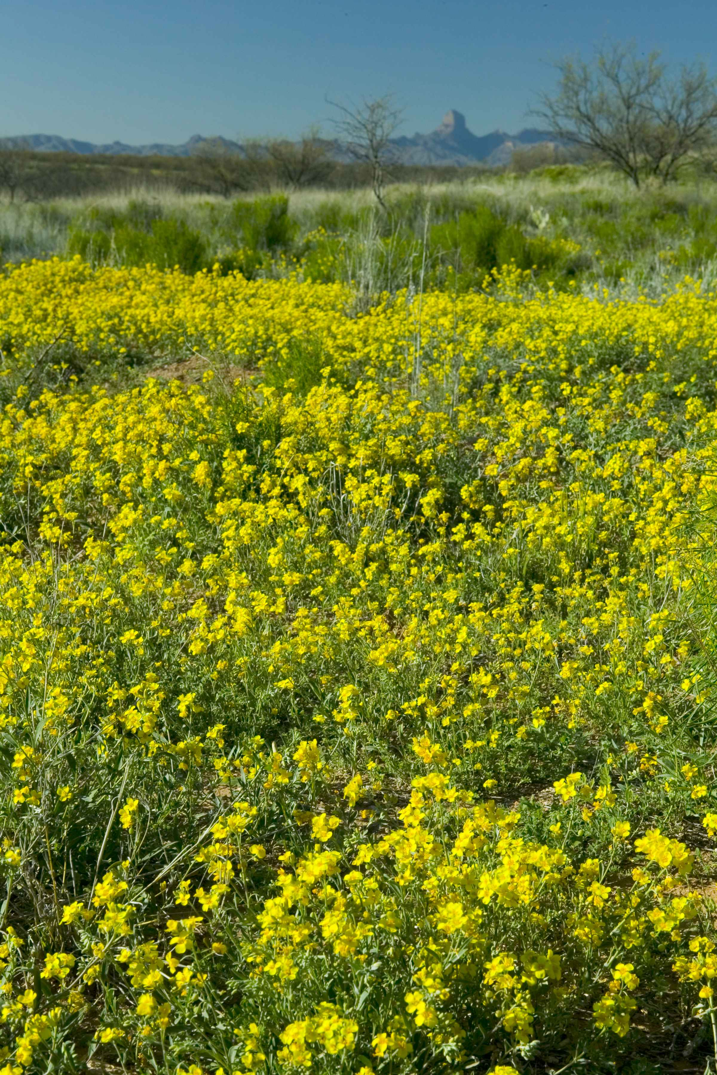 file desert flowers with mountains in the background jpg