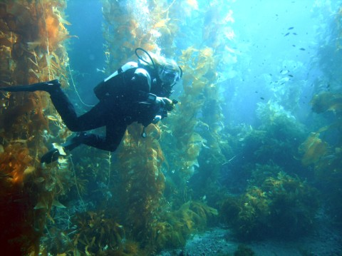Diver in kelp forest.jpg