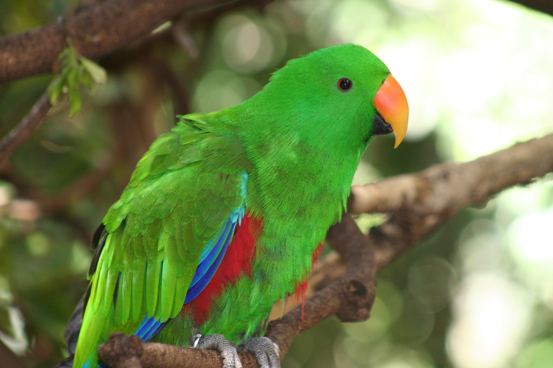 Eclectus_roratus_-Adelaide_Zoo,_Australia_-male-8a_(2)