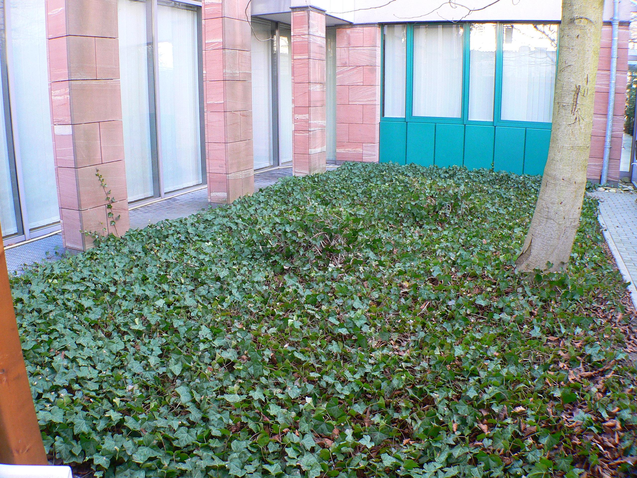 Garten bodendecker - Gartenpflanzen straucher ...