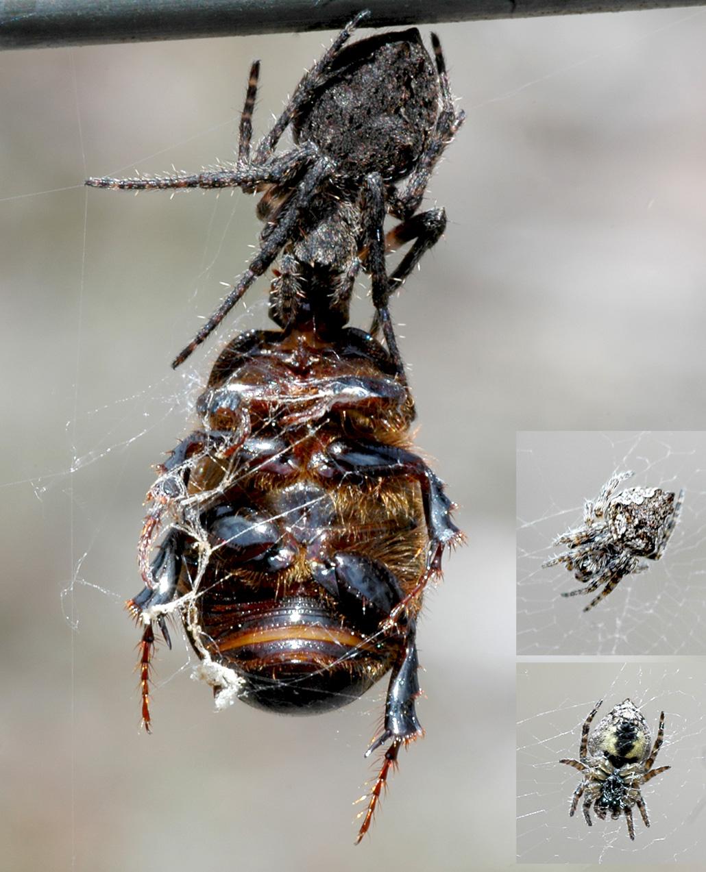 Eriophora Pustulosa Wikipedia