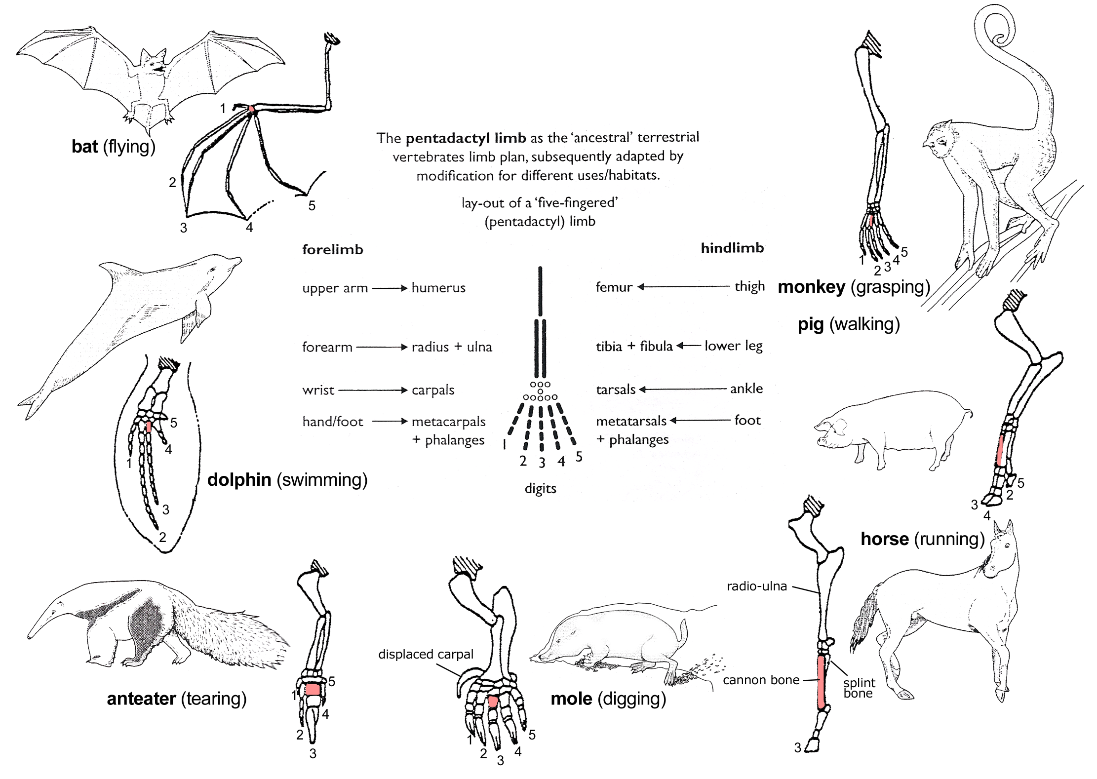 Metacarpal bones - Wikiwand