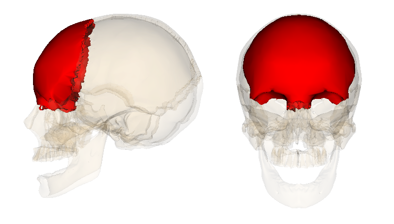 frontal bone - simple english wikipedia, the free encyclopedia, Human Body