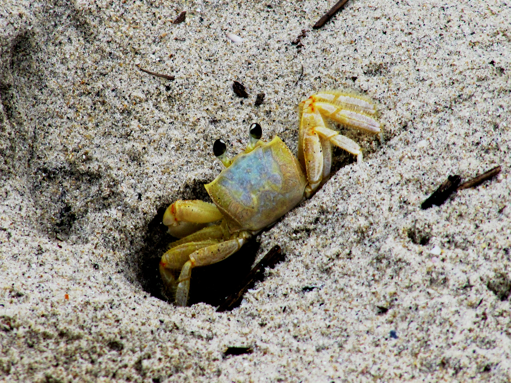 Crabe ewe - Page 16 Ghost_crab