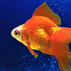 Goldfish icon.jpg