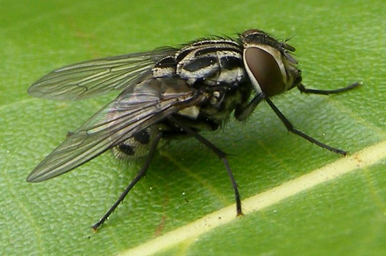 Graphomya maculata - Wikipedia