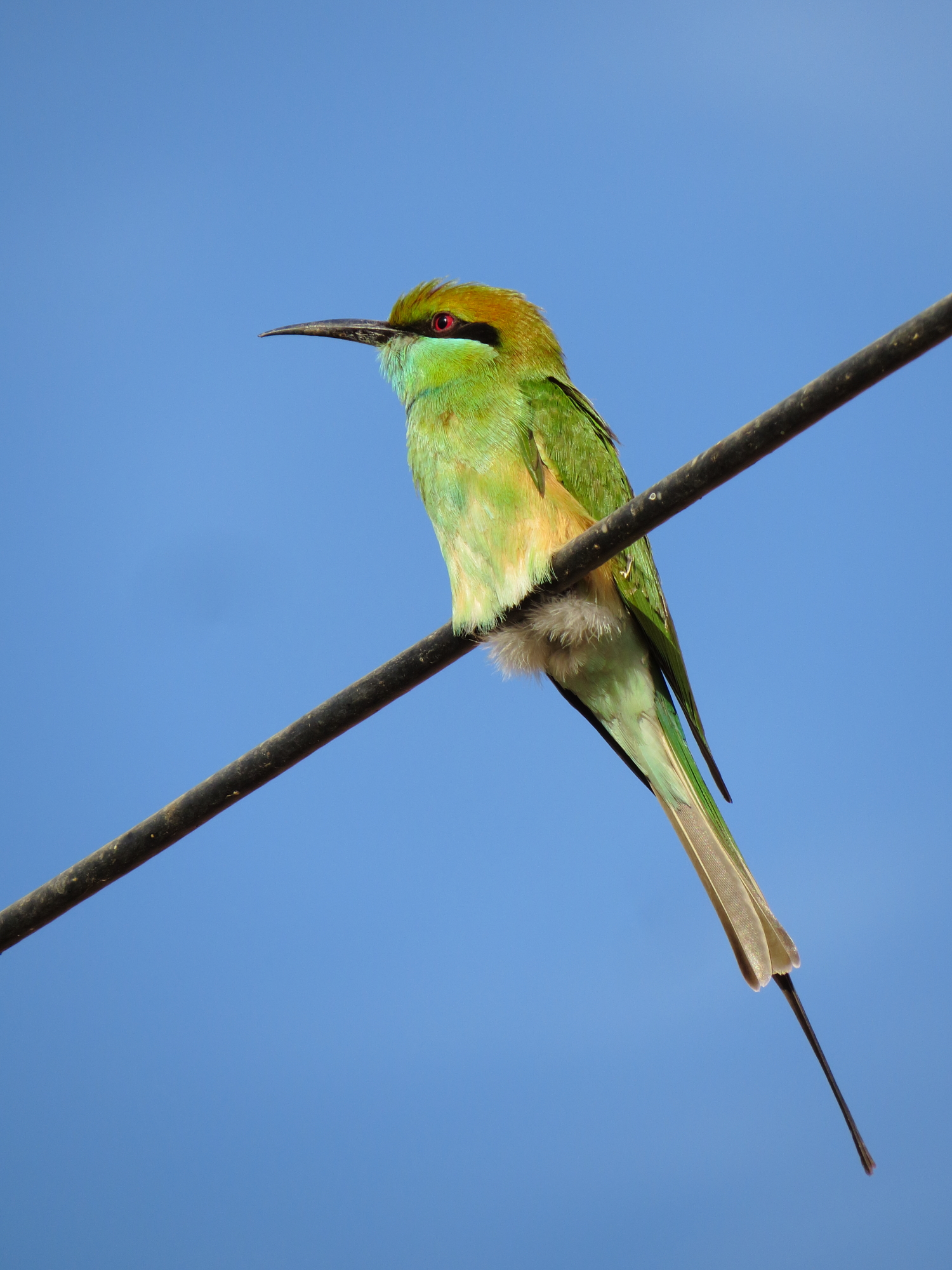 File:Green Bee eater perched on electric wire.JPG - Wikimedia Commons
