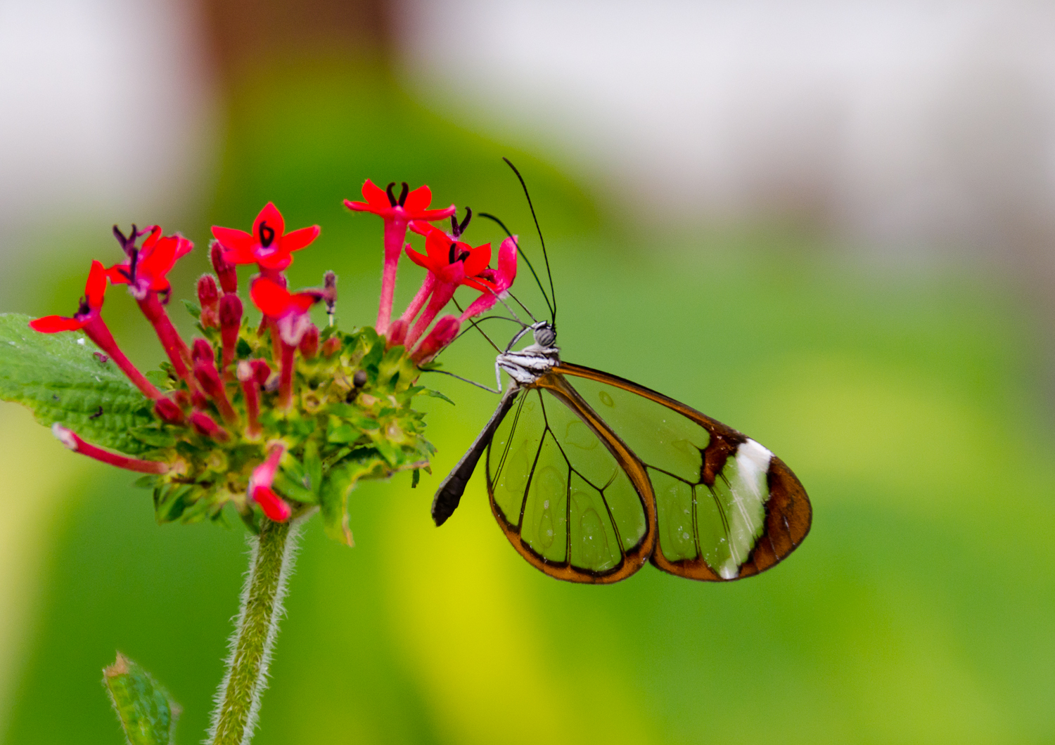 Featured Creature Glasswinged Butterfly Blog Nature Pbs