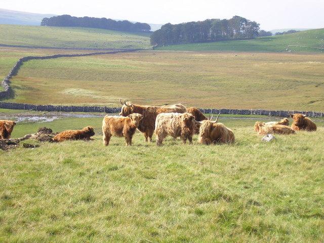 Highland cattle near Mastiles Lane - geograph.org.uk - 971885