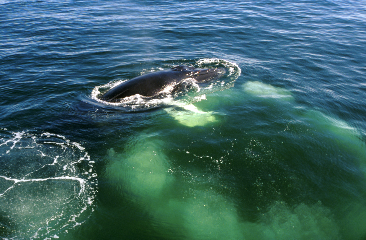 A whale is a fish or a mammal. Species of whales. What the whales eat and how they breathe 16