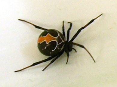 KATIPO SPIDER RAGNO