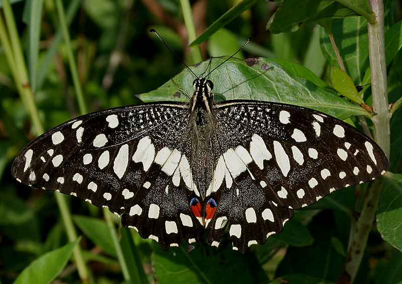 File:Lime Butterfly (P...