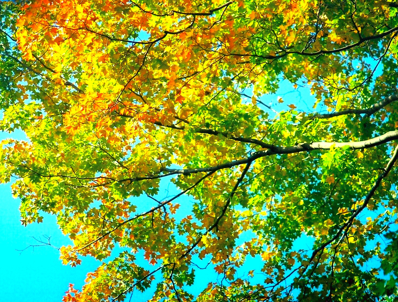 File:Maple trees turning color autumn.jpg - Wikimedia Commons