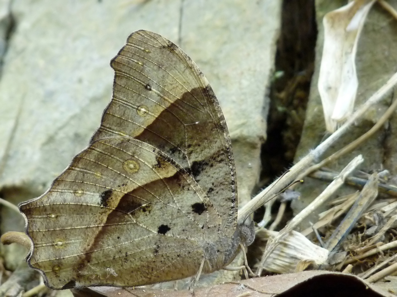 Common Evening Brown Butterfly (dry season form)